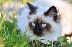 Siamese baby cat. Adorable baby Siamese cat in the grass explore and look carefully after his plastic toy Royalty Free Stock Photo