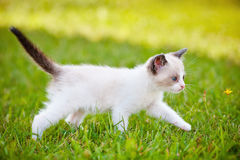 Adorable siamese cat walking outdoors Stock Image