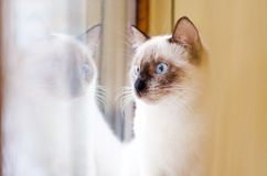 Adorable siamese kitten. Looking on the window royalty free stock photo