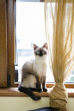 Adorable siamese kitten Stock Photography