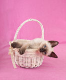 Adorable Siamese kitten in an off white basket Royalty Free Stock Image