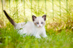 Adorable siamese kitten outdoors Royalty Free Stock Image