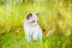 Adorable siamese kitten outdoors Stock Photo