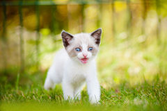 Adorable siamese kitten outdoors Stock Photography