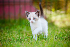Adorable siamese kitten outdoors Stock Photos