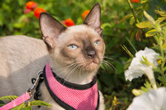 Adorable Siamese kitten in pink harness and leash Stock Photos