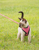Adorable Siamese kitten in a pink harness Royalty Free Stock Image