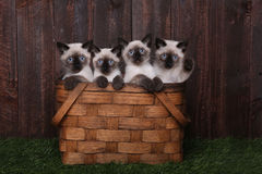 Adorable Siamese Kittens in A Basket Stock Photos