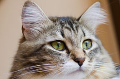 Adorable siberian kitten on the scratching post, brown tabby version with white. Female cat of siberian breed, long haired brown tabby version with white stock photography
