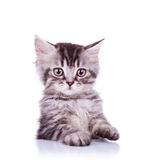 Adorable silver tabby cat Stock Photos