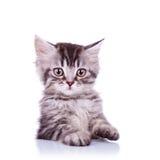 Adorable silver tabby cat Stock Photos