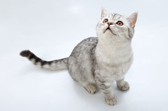 Adorable silver tabby Scottish cat looking up stock photography