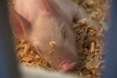 Adorable Single Baby Piglet Sleeping Isolated Close View Framed Through Metal Pen Bars in Sawdust Pen royalty free stock image