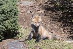 Red fox cub sitting resting in the morning sun stock images