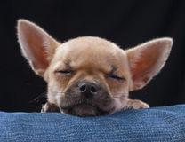 Adorable sleeping chihuahua puppy close-up Royalty Free Stock Photography