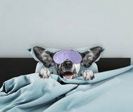 Adorable sleeping dog Royalty Free Stock Photo