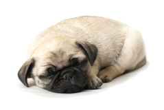 Adorable Sleeping Pug Puppy Royalty Free Stock Image