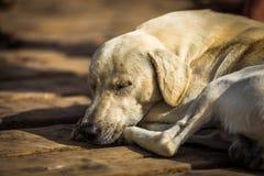 Adorable sleepy big white dog lying on wooden pier on island of Sal, Santa Maria, Cabo Verde stock photography