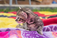 Adorable and sleepy tabby kitten Royalty Free Stock Image