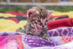 Adorable and sleepy tabby kitten Royalty Free Stock Images