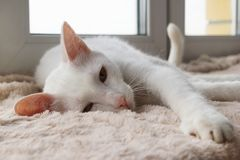 Adorable sleepy white cat with green eyes is resting on a pink blanket near to the window. royalty free stock photos