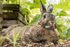 Adorable small brown and gray bunny rabbit relaxes in the garden Royalty Free Stock Image