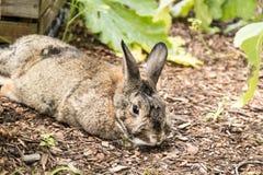 Adorable small brown and gray bunny rabbit relaxes in the garden Stock Photos