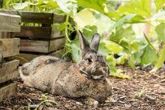 Adorable small brown and gray bunny rabbit relaxes in the garden Royalty Free Stock Photos