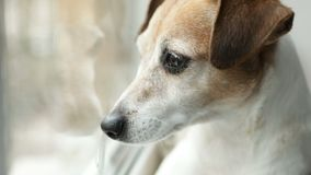 Adorable small dog Jack Russell terrier looking to the window. Close up. Daylight. Video footage stock footage