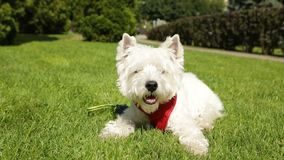 Adorable small dog West hiland white liying down on the grass enjoying sun sunbathing. Summer time. Red leash. Video stock video
