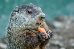 Adorable small funny young groundhog holds a carrot with both hands. Adorable small funny young groundhog Marmota Monax holds a carrot with both hands with stock photo