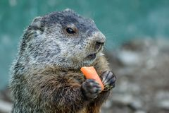 Adorable small funny young groundhog holds a carrot with both hands. Adorable small funny young groundhog Marmota Monax holds a carrot with both hands with royalty free stock photography