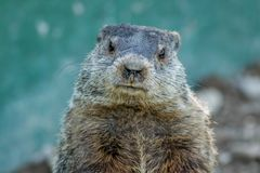 Adorable small funny young groundhog closeup faces front. Adorable small funny young groundhog Marmota Monax closeup faces front.  Funny face royalty free stock photography