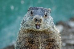 Adorable small funny young groundhog closeup faces front with mouth open. Adorable small funny young groundhog Marmota Monax closeup faces front with mouth open royalty free stock photos