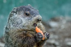 Adorable small funny young groundhog holds a carrot with both hands. Adorable small funny young groundhog Marmota Monax holds a carrot with both hands with royalty free stock photo