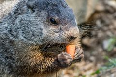 Adorable small funny young groundhog holds a carrot with both hands. Adorable small funny young groundhog Marmota Monax holds a carrot with both hands with stock photography