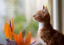 Adorable small ginger red tabby kitten looking through a window with birds of paradise on the other side of the glass. Attentive and excited by the wonders of royalty free stock image