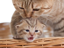 Adorable small kitten with mother cat in basket Royalty Free Stock Image