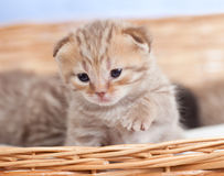 Adorable small kitten in wicker basket stock photography