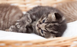 Adorable small kitten in wicker basket Royalty Free Stock Photos