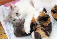 Adorable small kittens with mother cat. Stock Image