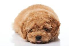 Adorable small puppy Royalty Free Stock Photos