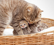 Adorable small scottish kitten in wicker basket Royalty Free Stock Images