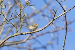 Free Adorable Small Songbird Common Chiffchaff, Phylloscopus Collybita Stock Photos - 210351383