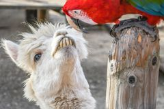 Adorable smiling funny looking white lama with big front teeth staring at green wing scarlet macaw royalty free stock photos