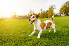 Adorable smiling Jack Russell terrier. Attentively looking away. Beautiful setting sun shines into the camera backlight. Happy moments with your pet.  series of Stock Photo