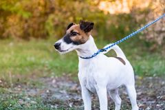 Adorable smooth fox terrier puppy on the leash in a park. Portrait of a young fox terrier dog standing on the leash stock photography
