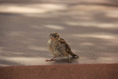Adorable Sparrow Stock Photos