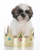 Adorable spoiled puppy Royalty Free Stock Photo