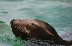 Adorable Squinting Eyes on a Sea Lion Swimming. Adorable Brown Sea Lion Swimming in Water Stock Images